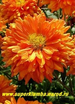 """Хризантема """"МЕДАЛЬОН"""".  Цветок  в  полном роспуске. НЕТ В ПРОДАЖЕ"""