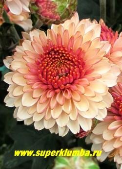 """Хризантема """"КАРИЕ ГЛАЗКИ"""".  Цветок крупным планом.   НОВИНКА!  НЕТ В ПРОДАЖЕ"""