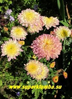 Хризантема «АМЕТИСТ» Низкая хризантема с густомахровыми цветами, меняющими цвет от белых с лимонной серединкой до нежно-розовых, диаметр цветка 4,5-5,5 см, цветет с августа- октябрь, высота 25-30 см.  ЦЕНА 250 руб (1 шт)