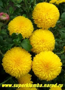 """Хризантема """" МИШАЛЬ"""". Цветок густомахровый некрупный практически круглый помпонной формы, яично-желтый, диаметр цветка 4-4,5 см. Высота 40 см. , цветет с сентября. ЦЕНА 250 руб (1 шт)  НЕТ В ПРОДАЖЕ"""