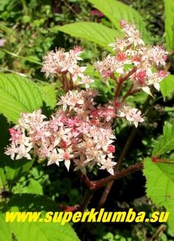 """РОДЖЕРСИЯ ПЕРИСТАЯ """"Файервокс"""" (Rodgersia pinnata """"Fireworks"""")   Соцветия  в начале цветения  имеют розовый цвет,  постепенно  темнея до темно малинового.   ЦЕНА  450 руб (делёнка)"""