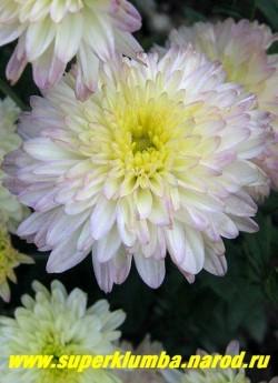 """Хризантема """"АМЕТИСТ"""". На фото цветок в начале роспуска. ЦЕНА 250 руб (1 шт)"""