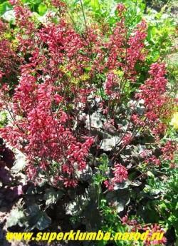 """Гейхера """"СВЁЛИНГ ФЭНТЕЗИ"""" (Heuchera """"Swirling Fantasy"""") Красивый сорт, сочетающий красивую листву и яркое обильное цветение. Листья серебристые с голубовато-лавандовым оттенком, пурпурной подкладкой и зелёно-серым жилкованием. Цветки крупные малиново-красного цвета. НЕТ  В ПРОДАЖЕ"""