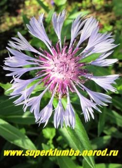 """ВАСИЛЕК ГИБРИДНЫЙ """"Церулеа"""" (Centaurea montana """"Cerulea"""")  крупные нежно-голубые цветы диаметром 7- 8 см, высота куста 50-60 см, Цветет продолжительно с июня по июль, ЦЕНА 150-200 руб.  (1 делёнка)НОВИНКА!"""