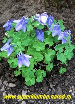 АКВИЛЕГИЯ ВЕЕРОВИДНАЯ (Aquilegia flabellata var. pumila) карликовый кустик, высотой до 15 см, с крупными двухцветными бело-голубыми цветами . Этот красивый вид пока редок в садах. Цветет раньше других видов с мая по июнь. ЦЕНА 250 руб.