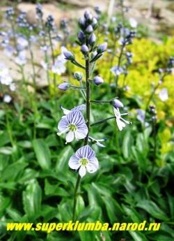 на фото соцветия ВЕРОНИКИ ГОРЕЧАВКОВИДНОЙ (Veronica gentianoides ) крупным планом. Зацветает в июне и цветет 2-3 недели. Декоративна до заморозков   НЕТ В ПРОДАЖЕ
