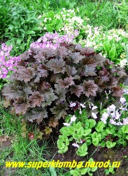 """Гейхера """"ПУРПУРНЫЙ ДВОРЕЦ"""" (Heuchera """"Palace Purple"""")  очень крупная эффектная гейхера с крупными фактурными пурпурными с металлическим оттенком, блестящими красиво-разрезными листьями. Цветы кремовые. Лучший многолетник 1999 года! Высота до 50 см, ЦЕНА 200-250 руб (куст)"""