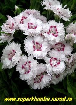 """ГВОЗДИКА АЛЬВУДА """"Кокосовый сюрприз"""" (Dianthus allwoodii """"Coconut Surprise"""") белые махровые цветки с темномалиновым пятном в центре, диаметром 3,5-4 см , срезочная, очень душистая, высота до 30 см, цв. июнь-июль, НОВИНКА! НЕТ  В ПРОДАЖЕ"""