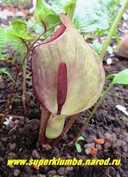 АРОННИК ВОСТОЧНЫЙ (Arum оrientale) Аронник растение с экзотическим пурпурно-фиолетовым соцветием- початком , обернутым декоративным зеленовато-белым с фиолетово-пурпурными оттенками покрывалом-парусом. Цветет с середины мая 10-15 дней. Высота 15- 25 см. НОВИНКА! ЦЕНА 150 руб