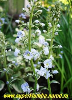 """на фото цветы ВЕРОНИКИ ГОРЕЧАВКОВИДНОЙ """"Вариегата"""" (Veronica gentianoides ''Variegata'') крупным планом. Цветки бледно-голубые , с темно-синими прожилками до 1 см в диаметре.   НЕТ В ПРОДАЖЕ"""