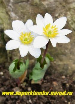 САНГВИНАРИЯ КАНАДСКАЯ (Sanguinaria canadensis) снежно-белые, плоские, как ромашки, немахровые, с венчиком обычно из 8 овальных лепестков цветы, как в ладошки обернутые серо-голубыми резными листьями,  дольше держаться в тени деревьев, высота 15-20 см, диаметр цветка до 7,5 см, цветет апрель-май. ЦЕНА 300 руб (1 цветущая почка)