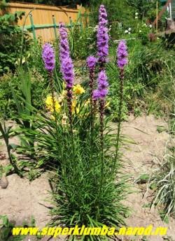"""ЛИАТРИС КОЛОСКОВАЯ """"сиреневая"""" (Liatris spicata) соцветия начинают распускаться сверху, что отличает ее от большинства растений, высота до 60см, Цветет в июле-августе 35-40 дней, ЦЕНА 150 руб (делёнка)"""