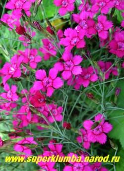 """ГВОЗДИКА ТРАВЯНКА  """"ЗИНГ РОУЗ"""" (Dianthus deltoides 'Zing Rose') цветы крупным планом.   ЦЕНА 150-200 руб (1 деленка)"""