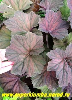 """Гейхера """"БРОУНИЗ"""" (Heuchera """"Brownies"""") Листья крупным планом. Очень крупные розетки, самые крупные листья из коричнево-окрашенных. Цветки белые, обильные. ЦЕНА 250-300 руб (куст)"""