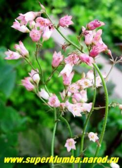 """Гейхера КРОВАВО-КРАСНАЯ """"РОЗОВАЯ"""" (Heuchera sanguinea """"Pink"""") компактный кустик с насыщенно зеленой плотной листвой и крупными нежно-розовыми колокольчиками в пышных соцветиях. Очень нежное сочетание. Высота 15-20см.   НЕТ В ПРОДАЖЕ"""