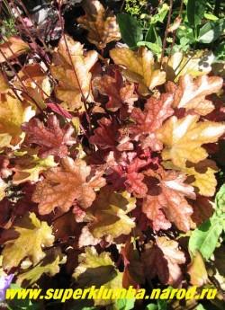 """Гейхера """"ПИЧ ФЛАМБЕ"""" (Heuchera """"Peach Flambe"""") новый сорт с изумительной листвой, играющей всеми оттенками от красно-оранжевого весной до персикового летом и цвета сливы осенью. На молодых листьях виден четкий серебряный рисунок, который позже бледнеет. Полутень-солнце, высота 15-20 см. НОВИНКА!  ЦЕНА 350 руб (куст)"""