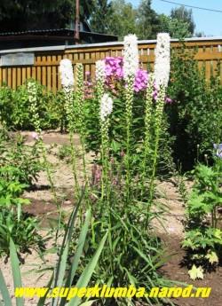 """ЛИАТРИС КОЛОСКОВАЯ """"белая"""" (Liatris spicata)  Стебли простые до 60 см высотой, сильно облиственные. Листья линейные. Белые пушистые цветы собраны в колосовидное соцветие , цветет июль- сентябрь,  НЕТ В ПРОДАЖЕ"""