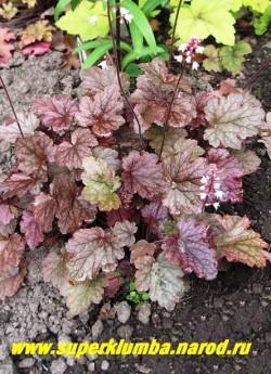 """ГЕЙХЕРЕЛЛА """"Квик Сильвер"""" (Heucherella """"Quick Silver"""") листья пурпурно-шоколадные с серебристыми пятнами, цветки бело-кремовые на коричневых цветоносах, высота 20-25 см ЦЕНА 250-300 руб (куст) НЕТ НА ВЕСНУ"""