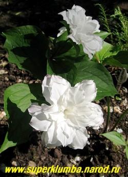 """ТРИЛЛИУМ КРУПНОЦВЕТКОВЫЙ """"Snoebunting"""" (Trillium grandiflorum """"Snoebunting"""") Цветок крупным планом. Цветет с середины мая 2 недели. НОВИНКА! ЦЕНА 1500 руб (1 взрослое цветущее растение)"""