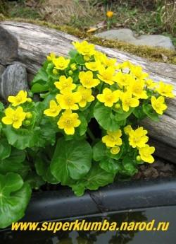 КАЛУЖНИЦА БОЛОТНАЯ (Caltha palustris) Очень красивое весеннецветущее растение с темно-зелеными блестящими крупными кожистыми листьями и многочисленными крупными яркими золотисто-желтыми цветками диаметром 4-5см. Высота куста до 40см, цветение апрель -май. Мощная и эффектная! Незаменимо для оформления сырых мест и берегов водоемов. При наличии полива растет на сухих местах. ЦЕНА 200 руб (делёнка)