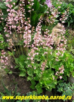 """ГЕЙХЕРЕЛЛА """"Бриджит блум"""" (Heucherella """"Bridget Bloom"""") Пышноцветущая гейхерелла с небольшие зелёными с темными прожилками листьями. Цветет с мая по июль. Предпочитает полутень, высота куста 10-15 см, с цветоносами до 40 см. ЦЕНА 200-250 руб (куст)"""