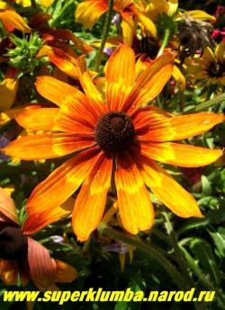 РУДБЕКИЯ ГИБРИДНАЯ №6 (Rudbeckia x hybrida) Фото в конце цветения. Необычная меняющаяся расцветка , желтые с терракотовой серединкой вначале роспуска, цветки в процессе цветения темнеют и в центре проступает рисунок небольшого цветка , диаметр цветка 10-11 см, высота до 90 см, цветет июль-август. НЕТ  В ПРОДАЖЕ
