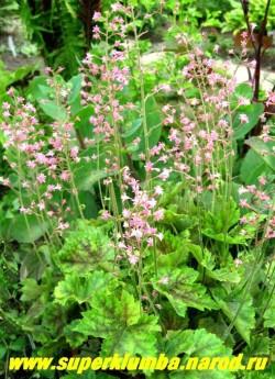 """фото цветущей ГЕЙХЕРЕЛЛЫ """"Розали"""" (Heucherella """"Rosalie"""") Цветки кораллово-розовые, высота 15-25см, цветет в июне.  НЕТ В ПРОДАЖЕ"""
