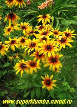 РУДБЕКИЯ ГИБРИДНАЯ №5 (Rudbeckia x hybrida) фото цветущего куста.  ЦЕНА 150 руб. (делёнка)