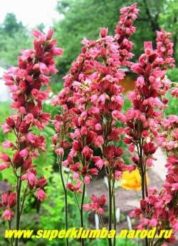 """Гейхера """" РАСПБЕРРИ РЕГАЛ"""" (Heuchera """"Raspberry Regal"""") Цветы крупным планом. Лучшее место посадки  солнечное. Украсит любой сад. ЦЕНА 350 руб.  (куст)"""