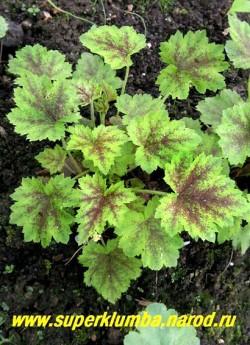 """ГЕЙХЕРЕЛЛА """"Розали"""" (Heucherella """"Rosalie"""")  светло-зелёные с коричневым расплывчатым узором вдоль центральной части. Цветки кораллово-розовые, высота 15-25см, цветет в июне. НЕТ В ПРОДАЖЕ"""