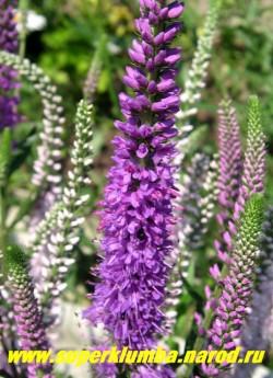 """ВЕРОНИКА КОЛОСКОВАЯ """"Ромили Перпл"""" (Veronica spicata """"Romily Purple"""") кустик высотой до 40 см, цветет с середины июня по август ,неприхотлива, светолюбива. Соцветия темно-фиолетовые верхушечные, кистевидные, густые, до 15 см длиной, ЦЕНА 200 руб (деленка)"""