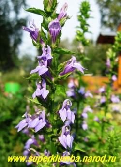 ЛОБЕЛИЯ СИНЯЯ ( Lobelia siphilitica ) красивый редкий многолетник, цветущий продолжительно, с июля по август, синими цветами собранными в колосовидные соцветия. Высота до 90см, предпочитает солнечное место. ЦЕНА 250 руб.
