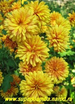 """Хризантема """"ТЕРРАКОТ"""" махровая,  диаметр цветка 4-5 см,  высота 50-60см, цветение  август-октябрь. ЦЕНА 150-250 руб (1 деленка) НЕТ В ПРОДАЖЕ"""