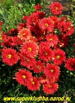 """Хризантема """"ДАШЕСС ОФ ЭДИНБУРГ"""" рубиново-красная полумахровая , диаметр цветка 6-7 см , яркий цвет, который невозможно не заметить в саду, высота 80 см, цветение август-октябрь. НЕТ В ПРОДАЖЕ"""