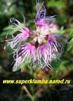 """ГВОЗДИКА ПЕРИСТАЯ """"Радуга любви"""" розовая (Dianthus plumarius) Цветки простые, 4,5 -5 см в диаметр с лепестками неравномерной окраски, очень узкими у основания и сильно рассечёнными.   НЕТ В ПРОДАЖЕ"""