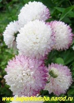 """Хризантема """"УМКА"""". Белоснежные помпоны диаметром 6-7см при отцветании становятся брусничными, выс. 80-100см, цветет август-октябрь. ЦЕНА 250 руб (1 шт)  НЕТ В ПРОДАЖЕ"""