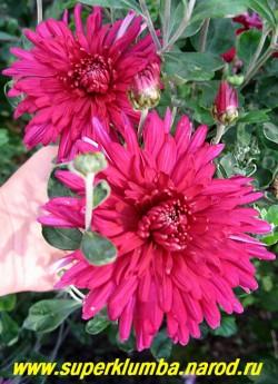 """Хризантема """"СВЕКОЛЬНО-МАЛИНОВАЯ"""". Цветок крупным планом. НЕТ  В ПРОДАЖЕ"""