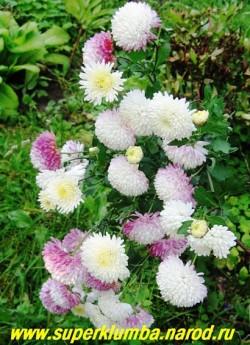 """Куст хризантемы сорта """"УМКА""""- каждый цветок отличается по цвету . На севере Подмосковья для этого сорта желательно легкое укрытие на зиму . ЦЕНА 250 руб ( 1 шт) НЕТ В ПРОДАЖЕ"""