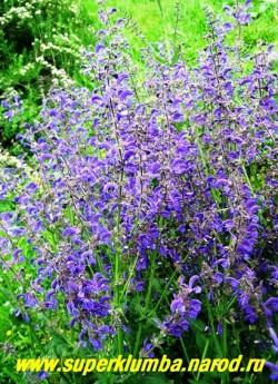 ШАЛФЕЙ ЛУГОВОЙ (Salvia pratensis) красивый шалфей с многочислеными ветвящимися стеблями длиной 40-50см с крупными фиолетово-синими цветами (длиной около 2,5см). Слегка опушенные листья собраны в прикорневой розетке. Высота 50-80 см, цветет с середины июня до поздней осени. НЕТ В ПРОДАЖЕ