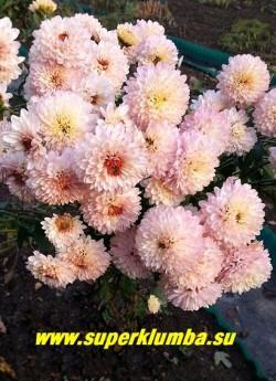 """Хризантема """"КАРИЕ ГЛАЗКИ"""". Цветы в полном роспуске.   НОВИНКА!  НЕТ В ПРОДАЖЕ"""