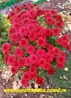 """Хризантема """"ЛИПСТИК"""". Цветы густо махровые темно-бордовые, плоские, диаметром 6 см. Высота куста 60 см, сорт зимостойкий, хорошо размножается. ЦЕНА 200 руб (1 шт) НЕТ В ПРОДАЖЕ"""
