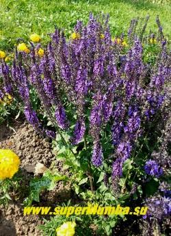 """ШАЛФЕЙ ДУБРАВНЫЙ """"Маркус""""  (Salvia nemorosa """"Marcus"""") Невысокий сорт с серо-зеленой ароматной листвой, высотой 25-35 см. Цветет темно-синими колосовидными соцветиями пышно и длительно с конца июня до конца сентября.  НЕТ  В  ПРОДАЖЕ"""