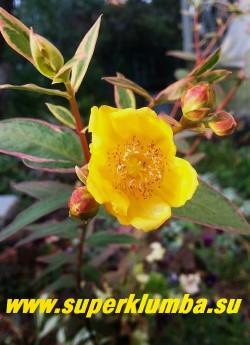 """ЗВЕРОБОЙ МОЗЕРА """"Триколор"""" (Hypericum х moserianum """"Tricolor"""") Цветок крупным планом. Рекомендуется профилактическое укрытие на зиму, при подмерзании отрастает от корневой шейки.  Для формирования куста рекомендуется укоротить  весной побеги  на 2/3.  НЕТ В ПРОДАЖЕ."""