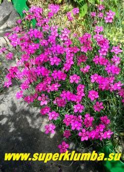 """ГВОЗДИКА ТРАВЯНКА  """"ЗИНГ РОУЗ"""" (Dianthus deltoides 'Zing Rose')    гвоздика  с малиново-розовыми  цветами.  Высота  до 20 см, цветет июнь-июль, ЦЕНА 150-200 руб (1 деленка)"""