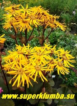 """БУЗУЛЬНИК ЗУБЧАТЫЙ """"Отелло"""" (Ligularia dentata Othello) соцветия  крупные,нарядно смотрятся  на фоне темной листвы. НОВИНКА! ЦЕНА 250руб (делёнка)"""