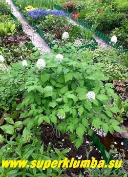 ВОРОНЕЦ ТОЛСТОНОГИЙ (Actaea pachypoda) красивый куст с 2-3-тройчатой зубчатой листвой до 70см в высоту. Цветки пышные белые в коротких компактных кистях. В августе появляются эффектные белые, размером с горошину, плоды на ярко-красных ножках. НОВИНКА!  НЕТ  В ПРОДАЖЕ