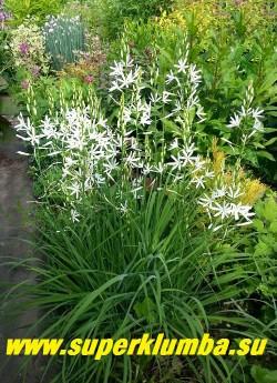 ВЕНЕЧНИК ЛИЛИАГО (Anthericum liliago) миниатюрный и более изящный родич парадизии. Цветки белые, до 3-4 см в диаметре собранные по 10-20 штук в кистевидное соцветие. Листья узколинейные, до 40 см в длину. Цветет с середины июня 30 дней. Высота до 50 см. Морозостоек, прост в культуре. НОВИНКА! ЦЕНА 300 руб  (1 шт)