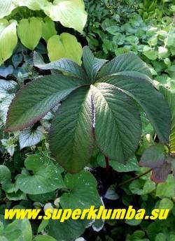 """РОДЖЕРСИЯ  ПЕРИСТАЯ """"Чоколат  Вингс"""" (Rodgersia pinnata """"Chocolate Wings"""")  Весной листья имеют насыщенный пурпурно-шоколадный оттенок, по мере роста добавляется зеленый пигмент, и листья становятся изумрудно-коричневыми. Цветки роджерсии Чоколат Вингс имеют розовый цвет и формируют крупные метелки. НОВИНКА! НЕТ В ПРОДАЖЕ."""