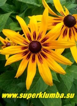 РУДБЕКИЯ ГИБРИДНАЯ №13 (Rudbeckia x hybrida) желтые крупные цветы с шоколадными лучами  в центре, диаметр цветка 12-13 см, высота 60-70 см, цветет июль-август. НОВИНКА!  ЦЕНА 200 руб. (делёнка)