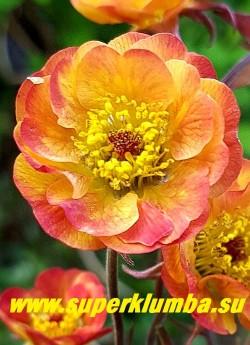 """ГРАВИЛАТ  """"Текила санрайз""""  (Geum hybride """"Tequila Sunrise"""")  Серия Cocktails.  Яркие полумахровые желтые цветки с розово-оранжевыми  кончиками и  красно-фиолетовыми бутонами на  бордовых стеблях. Высота 35-50см. Цветет с конца мая постоянно в течение 3-4 недель. НОВИНКА! ЦЕНА 350 руб (1 делёнка)"""